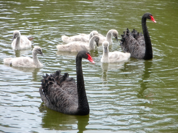 birrong swansb